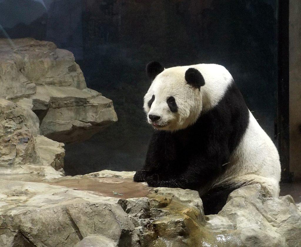 panda on rock